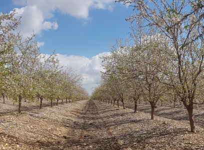 Almond & Olives | Magal Kibbutz