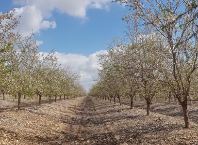 Almond & Olives   Magal Kibbutz